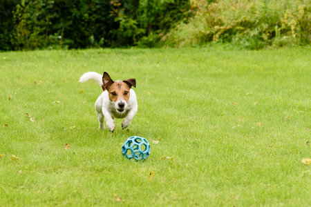 Active dog jumping on ball playing on summer lawn