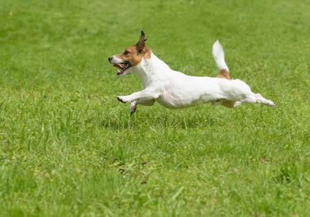 dog days: días de perro de verano caliente. terrier activa que se ejecuta rápidamente