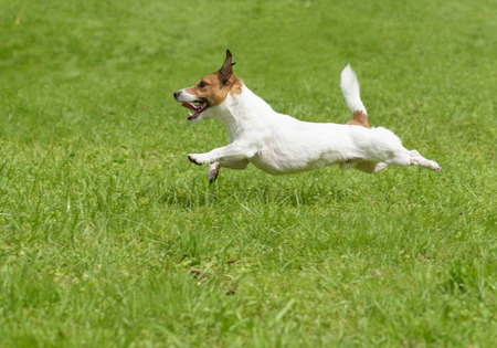 dog days: Hot summer dog days. Active terrier running quickly
