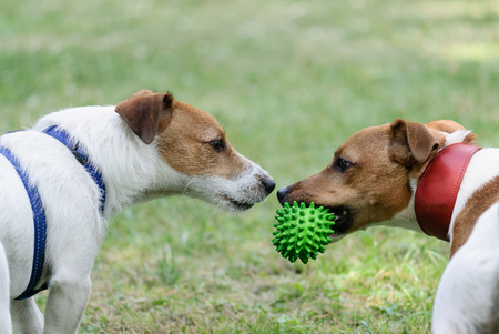 Conflict moment before war. Two dogs ready to fight for toy
