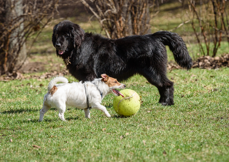 black and white newfoundland dog: Newfoundland dog and Jack Russell Terrier. Black vs White. Big vs small Stock Photo