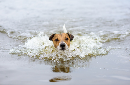 looking into camera: Swimming dog making water wave and looking into camera