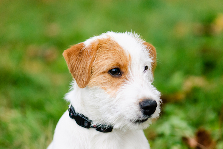 composure: Headshot portrait of cute fluffy Jack Russell Terrier dog