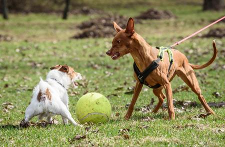 파라오 하 운 드 강아지 공격 작은 잭 러셀 테리어 강아지