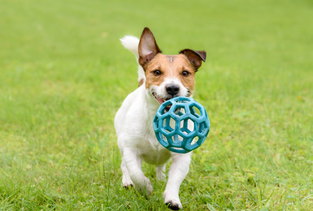 Funny happy terrier dog running and playing with ball