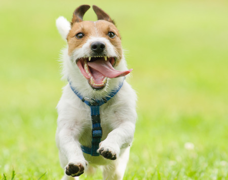 Adorable funny dog running with tongue out of open mouth Stok Fotoğraf