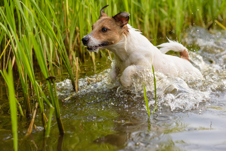 looking for work: Hunting dog running in swamp looking for prey Stock Photo