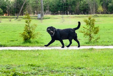 fetching: Big black smart dog walking and fetching stick