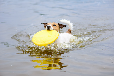retrieving: Dog running in water fetching plastic disk in mouth