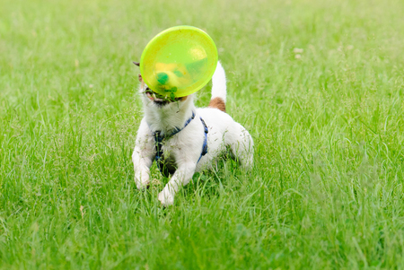 fetching: Funny dog running and fetching green flying disk Stock Photo