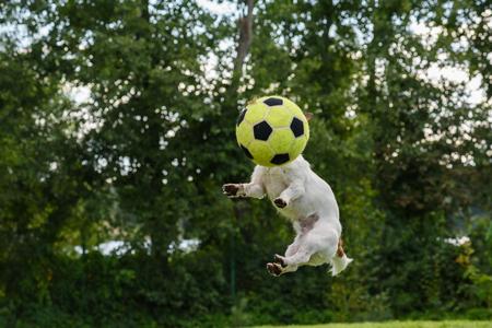 persona saltando: Vista delantera del perro con balón de fútbol en lugar de la cabeza de salto alto