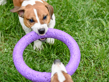Angry dog pulling toy playing tug-of-war game Standard-Bild