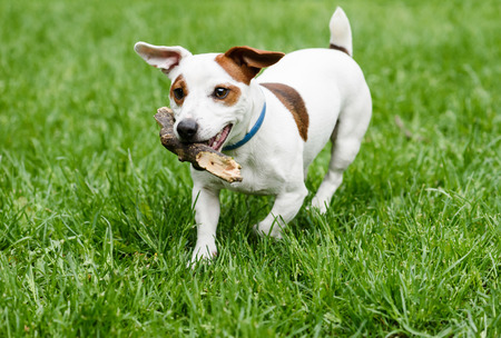 Cute small dog playing with wood stick at lawn