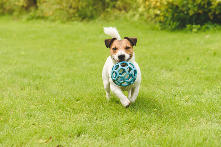 Funny happy dog playing with toy running on camera
