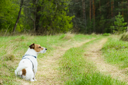 pensiveness: Sitting dog waiting to go for a walk along open road