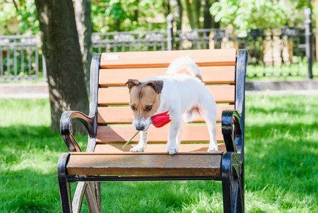 fetching: Dog holding with mouth red tulip on park bench