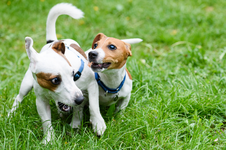 dogs playing: Two funny pet dogs playing on green grass Stock Photo