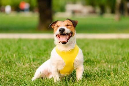 Happy dog sitting, smiling and yawning