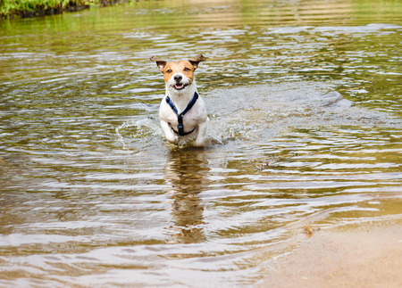 no rush: Dog running and playing in water at beach of small river Stock Photo
