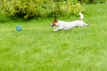 Side view of dog running and chasing a ball, playing at back yard Standard-Bild