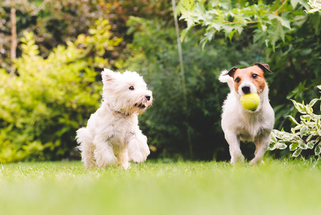 Two cute and funny dogs playing with a ball Stock Photo