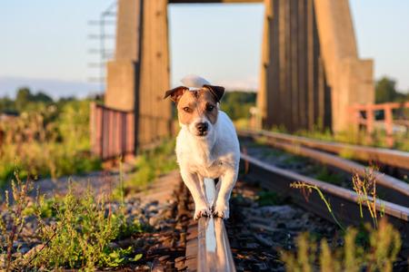 composure: Dog walking and balancing on rail playing at railroad