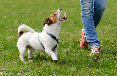 obedient: Obedient dog doing walking exercise with owner