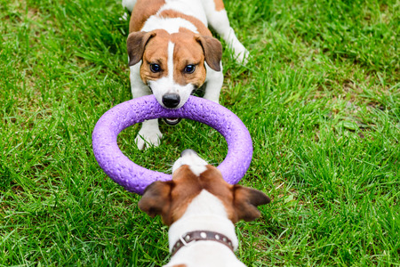 Two dogs pulls purple toy playing on grass