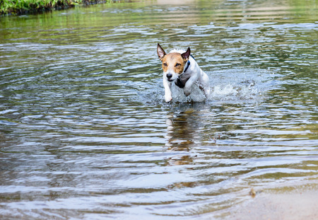 energetically: Dog running and jumping in water vigorously Stock Photo