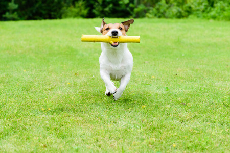fetching: Dog running with toy stick in mouth at green lawn