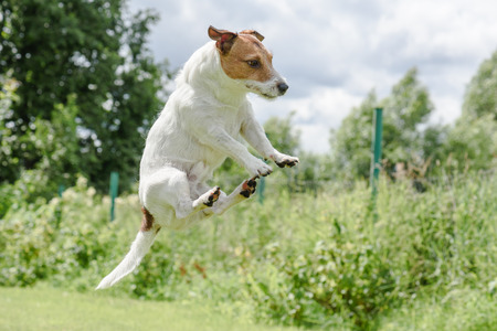 jack russell terrier: Funny jump of cute flying Jack Russell Terrier dog