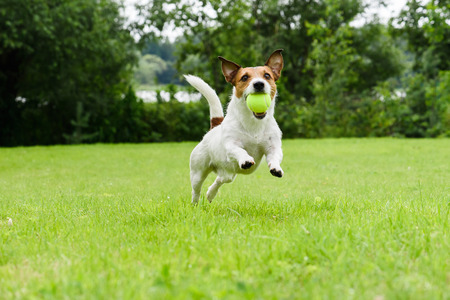 Dog running with tennis ball in mouth on camera Standard-Bild