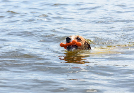 head toy: Head of swimming dog fetching toy bone from water Stock Photo