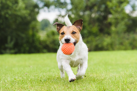 Funny pet dog playing with orange toy ball Stock Photo - 61891453