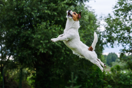 dog agility: Dog agility: terrier jumping and flying high
