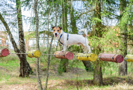 in low spirits: Dog during ropes course standing on high elements rope bridge Stock Photo
