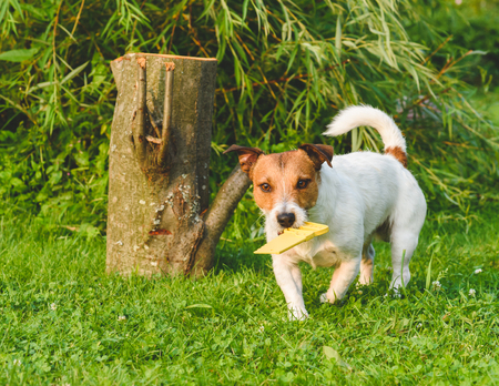 fetching: Dog fetching toy yellow saw playing woodcutter role