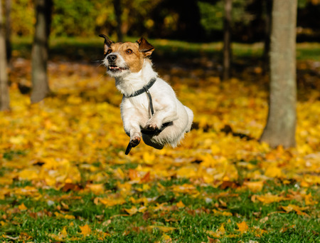 Dog playing and jumping outdoor at fall (autumn) park