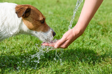 Dog drinking water from woman hand at hot summer day