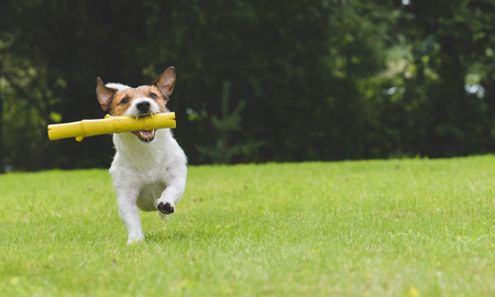 Happy dog playing and fetching toy stick at back yard