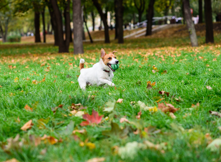 jack russell terrier: Jack Russell Terrier running on fallen foliage