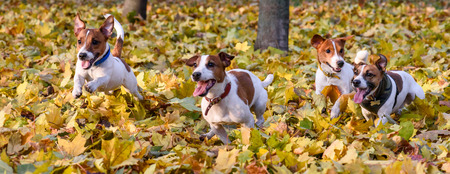 Pack of Jack Russell Terriers running at fall (autumn) park