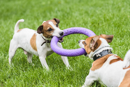 Two dogs struggle playing tug war game Foto de archivo
