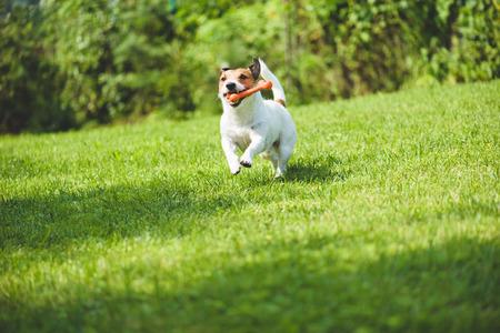 fetching: Dog running on green grass fetching toy bone