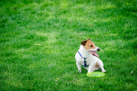Jack Russell Terrier pet dog on green grass with a toy Stock Photo