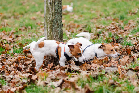 Competition: two male dogs peeing on a tree Standard-Bild