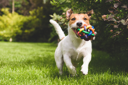 Cute pet dog playing with colorful toy ball Standard-Bild