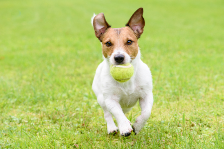 Dog with funny ears running with ball Standard-Bild