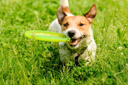 Dog playing at green grass with flying disk Stock Photo