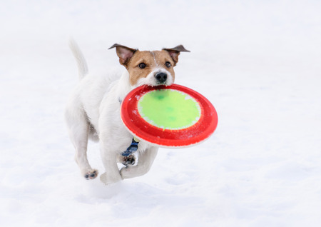 Dog with flying disk running on camera (not frozen motion)